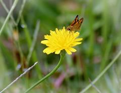 Skipper Butterfly Dickkopffalter (Uhlenhorst) Tags: 2015 germany deutschland bavaria bayern flowers blumen blossoms blüten animals tiere