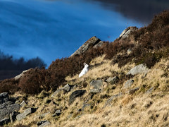 Mountain Hare - Saddleworth (Craig Hannah) Tags: chewvalley saddleworth dovestones pennine peakdistrictnationalpark rspb uplands moorland westriding yorkshire oldham greenfield greatermanchester england uk craighannah photography canon photos january 2019 mountainhare whitehare hare wildlife nature mamal winter