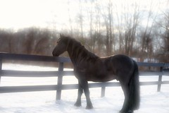 Xander in the snow (Funtasian) Tags: horses equestrian equine snow cold field paddock barn filly foal babyanimals colt sky grass