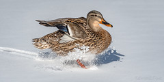 The Landing (ER Post) Tags: bird duck mallardanasplatyrhynchos hickorycorners michigan unitedstatesofamerica us