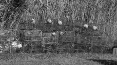 Crab Traps (bamboosage) Tags: auto takumar 55 f2 m42