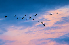 Flight of Geese (wyojones) Tags: wyoming parkcounty cody wildlife canadiangeese flight sunset v formation pink clouds cloudscape wyojones mp np