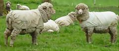 wool and stuff :-) (♥Adriënne - for a better and peaceful world -) Tags: topaz sidebyside sheep schapen wolenzo textielwerk wool axel terneuzen ♥adriënne addyvanrooij panasonictz20 fieldsoflove ovine
