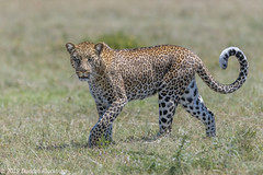Stroll in the park.... (Duncan Blackburn) Tags: 2019 big5 cat kenya masaimara leopard mammal nikon nature wildlife ngc