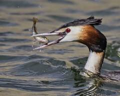 Great Crested Grebe (Alan McCluskie) Tags: greatcrestedgrebe podicepscristatus grebefeeding grebes waterbirds birds birdsinswindon birdsinwiltshire canon7dmk2 sigma150600mmsp