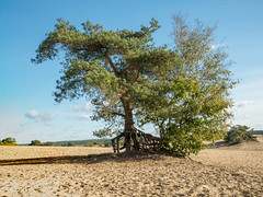 Boom Kootwijkerzand (ome.henk) Tags: amsterdamhenkwieland herfst hogeveluwe landal miggelenberg veluwe bomen bos landscape landschap 2018 kootwijk burgers natuur zand dieren