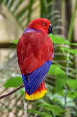 avian royalty (ucumari photography) Tags: ucumariphotography nc north carolina zoo november 2018 parrot eclectus princess bird animal eclectusroratus dsc0156 specanimal specanimalphotooftheday specanimaliconofthemonth
