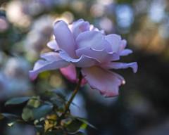 2018 Autumn rose (shinichiro*) Tags: 20181102sdim6784 2018 crazyshin sigmasdquattroh sdqh sigma1770mmf284dcmacrohsm november autumn yokohama 横浜イングリッシュガーデン rose flower macro 44264824050 4342249 201901gettyuploadesp