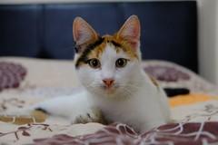 Badi (mesutsuat) Tags: lightbox light box fujifilm xt20 xf 1855 f28 do it yourself turkey türkiye cat kedi katze kitty kitten pussy