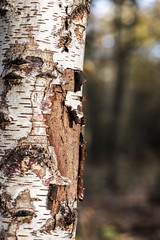 Peeling away (Wouter de Bruijn) Tags: fujifilm xt2 fujinonxf56mmf12r birch silverbirch silver bark zilverberk berk tree nature forest fall autumn autumnal outdoor westhove manteling oostkapelle veere walcheren zeeland nederland netherlands holland dutch