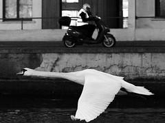 Two trips crossing (mond.raymond1904) Tags: swan grand canal dublin motobike