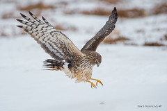 Pounce... (Earl Reinink) Tags: hawk raptor animal winter bird northernharrierhawk snow earl reinink earlreinink nature outdoors food reuueaudha