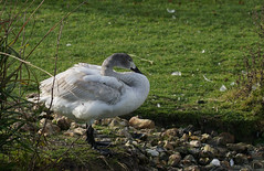 DSC07420 (simonbalk523) Tags: swan arundel sussex nature wild wildlife wetlands sony tamron photography birds animals