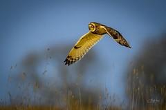 Shortie on patrol (andy_harris62) Tags: shortearedowl shortie owl birdofprey outside nature wildlife wildlifehotography nikond850 nikon nikkor wintersun