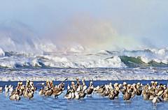 Pelicans At Cannon Beach (Gary Grossman) Tags: pelicans birds beach shore cannonbeach garygrossmanphotography winter winterlight seaspray wildlife wildlifephotography seascape oregon northwest pacificnorthwest pacific ocean pacificocean