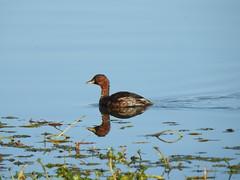 Grèbe castagneux (chriscrst photo66) Tags: waterbird bird animal oiseau grèbe castagneux eau lac plantes gironde nikoncoolpixp900