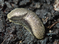 Arion distinctus (lloyd177) Tags: arion distinctus slug dorset