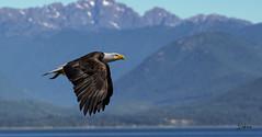 American Bald Eagle (Jim Oskam) Tags: