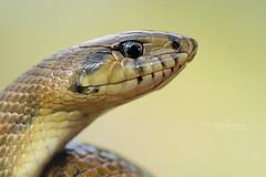 Zamenis scalaris (Matthieu Berroneau) Tags: reptile couleuvre serpent échelons rhinechis scalaris trip sony alpha macro nature france herpéto wildlife animal animaux ff 24x36 full frame a7ii 7ii 7mk2 sonyilce7m2 herping herpeto reptilian reptilia serpente snake serpentes snakes serpiente field serpents sonya7ii sonya7mk2 sonyalpha7mark2 sonyalpha7ii 90 28 fe f28 g oss fe90f28macrogoss sonyfesonyfe2890macrogoss objectifsony90mmf28macrofe sel90m28g zamenisscalaris zamenis ladder laddersnake à couleuvreàéchelons eskailerasugea schlange ringelnatter culebra de escalera culebradeescalera head