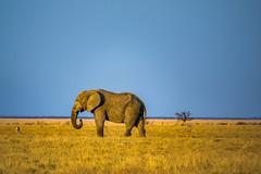 DSC00316 (philliphalper) Tags: namutoni etosha namibia elephant