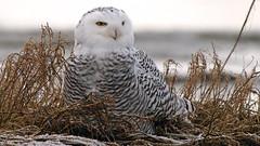 Snowy Owl (photosauraus rex) Tags: owl snowy snowyowl bird vancouver bc canada