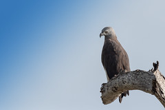 Grey headed fish eagle (GayanDeSilva) Tags: 2018 srilanka eagle greyheadedfisheagle yala