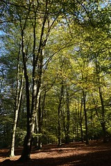 Beech trees by the North Downs Way 1 (Leimenide) Tags: north downs way beech trees green leaves autumn surrey countryside wood
