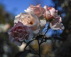2018 Autumn rose (shinichiro*) Tags: 20181102sdim6757 2018 crazyshin sigmasdquattroh sdqh sigma1770mmf284dcmacrohsm november autumn yokohama 横浜イングリッシュガーデン rose flower macro 45154597265 4342249 201901gettyuploadesp