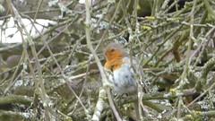 Robin preening itself (seikinsou) Tags: amaravati england meditation retreat retreatcentre robin tree branch preen summer midsummer