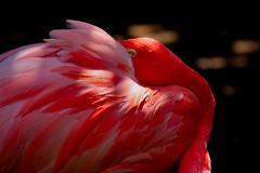 Shyness (Roberto Rubiliani) Tags: animali animals uccello uccelli natura nature flamingo canon eos350d rosso red rubiliani robertorubiliani