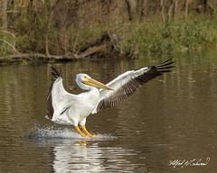 American White Pelican_20A3052 (Alfred J. Lockwood Photography) Tags: alfredjlockwood nature wildlife bird americanwhitepelican flight landing waterskiing whiterocklake dallas texas morning autumn