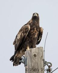 golden eagle (Pattys-photos) Tags: golden eagle pattypickett4748gmailcom pattypickett idaho