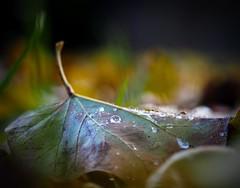 Autumn crying (jocsdellum) Tags: autumn otoño tardor fall llanto crying cry rain drops hoja fulla leave gotes macro raindrops poétic commagradalatardor