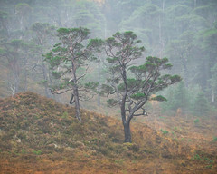 Standing (APGougePhotography) Tags: scotland pine caledonian weathered highlands wester ross nikon d850 nikond850 adobe adobelightroom pass standing rain strength