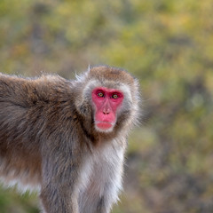 Japanese macaque (Brian.Schick) Tags: japan snow monkey