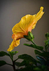 Winter hibiscus bloom (Pejasar) Tags: yellow blossom hibiscus winter indoors bright color backside flower bloom plant life light