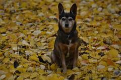 Sie liebt den Herbst / She's loving autumn (r.stopable1) Tags: hund haustier tier herbst laub portrait pet fallfoliage foliage herbstlaub dog animal yellow mongrel mischling