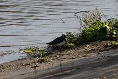 Northern Lapwing (Vanellus vanellus) (Common Buzzard) Tags: abberton essex ewt essexwildlifetrust reservoir birds waders plovers lapwing