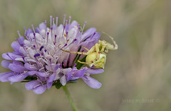 paciència (Josep M.Toset) Tags: animalia arthropoda arachnida araneae aranyes baixcamp catalunya fulles flors nikon josepmtoset macro camí bosc tomísids d800 nikon60mmf28d