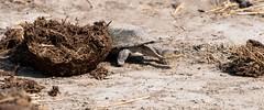 Tortoise (iamfisheye) Tags: ruaha tortoise nikon nik01 nomadtanzania swtnz2018 xqd kigelia d500 tanzaniaoctober2018