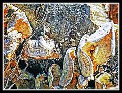 Fungus on Dead Log (jhpen2) Tags: fungus log bark macro