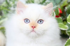 Flame Point Himalayan (dollfacepersiankittens.com) Tags: himalayans himalayan himmie himmy himi dollfacepersiankittens trisha johnson persian kittens color point for sale blue eyes animals animal pet pets