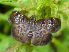 Sostrata bifasciata (LPJC) Tags: panama 2018 lpjc sostratabifasciata skipper butterfly quebradagarza