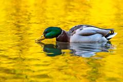 Drinking Gold (Peter Quinn1) Tags: mallard sheffield abbeydaleindustrialhamlet tyzacksdam autumn gold duck