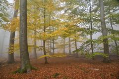 Quand la forêt change de couleurs (Excalibur67) Tags: nikon d750 sigma globalvision art forest foréts arbres trees brume brouillard mist fog feuillage foliage bois sousbois 24105f4dgoshsma