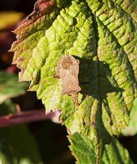 2018_10_0361 (petermit2) Tags: dockbug pottericcarr potteric doncaster southyorkshire yorkshire yorkshirewildlifetrust wildlifetrust ywt