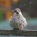 Sparrow just had a bath