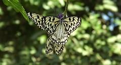 Paper Kite Delights (ChicaD58) Tags: butterfly paperkite blackandwhitebutterfly idealeuconoe cecilbdaybutterflycenter callawaygardens autumn dscf6549bb