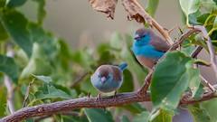 274.2  Angolees Blauwfazantje (dirkvanmourik) Tags: angoleesblauwfazantje aves bird bluebreastedcordonbleu kisakitanzania oiseaux rondreistanzania2005 selousgamereserve uraeginthusangolensis vogel wildreservaatselous