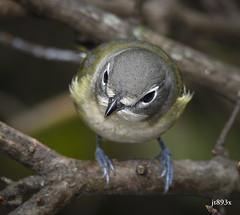 Blue-headed Vireo (jt893x) Tags: 150600mm bird blueheadedvireo d500 jt893x nikond500 sigma sigma150600mmf563dgoshsms songbird vireo vireosolitarius thesunshinegroup coth alittlebeauty coth5 sunrays5